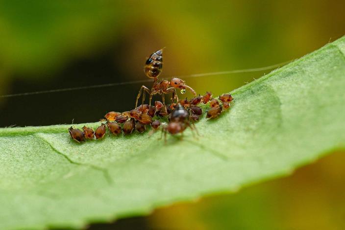張輝益-舉尾蟻