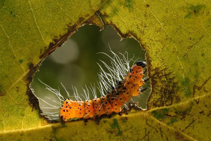 林春清-銅腹透翅斑蛾幼蟲